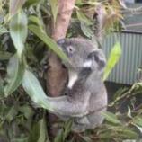 『オーストラリア ケアンズ旅行記10 定番のコアラ抱っこはユーカリ臭が強烈だ!』の画像