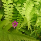 『【写真】 Xperia5  地元の梅雨、梅雨の花。1』の画像