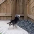 子犬がカラスに吠えていた。お前なんか怖くないぞぉ! → 番犬はこうなる…