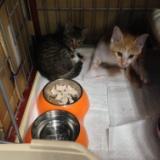 2016年8月2日  2匹の子猫の里親募集の写真