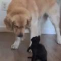 小さな子ネコが大きな犬に攻撃する。わ~ぁ やられたぁ! やさしい犬はこうなります…