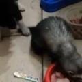 【子犬】 フェレットが「ごはん」を食べていた。こら、ダイエット中でしょ! → 厳しい子犬はこうします…