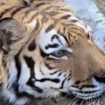 虎とか言うクッソ可愛い動物wwwww