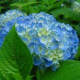 『今年もまた各地で『紫陽花』の観覧会が開催されます!』の画像
