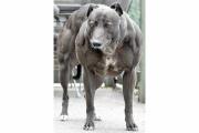 遺伝子操作で犬の筋肉増強に成功、難病治療への期待も