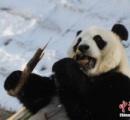 【画像】大雪の中国で凍えるパンダ