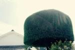 交野で『最も有名な木』について、所有者のヒトからお話聞けました~私部のモッコモコの木~