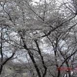 『東大和市と周辺の桜』の画像