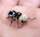 【画像】パンダみたいなハチ、パンダアリが話題にwwwwwwwww