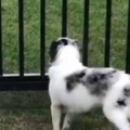 イヌは柵の前で待っていた。今日、大好きな人が訪ねてくる。…あ、来たぁ! → 犬はこうなった…