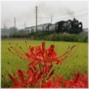 2008年9月秩父鉄道大麻生付近に咲く彼岸花とSLパレオエクスプレス号