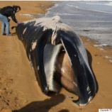 『「死んだミンククジラがケント・ビーチ(英)に打ち上げられる」』の画像