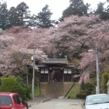 『桜満開!』の画像