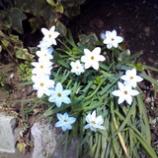 『可憐な白き花』の画像
