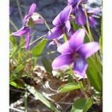 『岩に咲く眩いばかりの紫の色』の画像