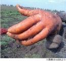 【完全に手】握手を求めてくるニンジンが見つかる(画像あり)