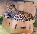 動物園「やっべ、ヒョウが3頭脱走した……パニックになるし公表しなくていいか」