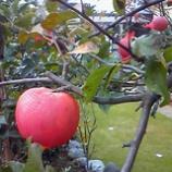 『リンゴ』の画像
