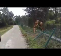 【動画】野生のトラ vs サファリパークのトラファイッッ!