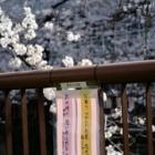 『目黒川の桜と小学生の俳句&満月 2021/03/30』の画像