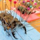 カブトムシ、クワガタ等の標本の作り方
