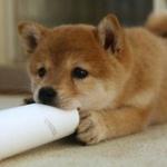 犬を飼う人激減、止まらぬ飼い犬離れ、猫と差わずか