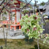 『黄緑の桜』の画像