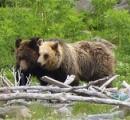 北海道でパンダのようなヒグマが見つかり話題に