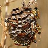 彡(^)(^)「お!スズメ蜂の巣やんけ。燃やしたろ!!」→結果・・・