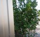 庭に正体不明の巨木が生えてきたんだが、これ何の植物かわかるやついるか まさかミカンじゃないよね