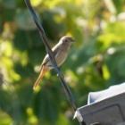 『ジョウビタキ(尉鶲) ~庭に来る野鳥~』の画像