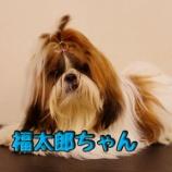 『まるでドッグショー犬!?フルコートのシーズーちゃん♪』の画像