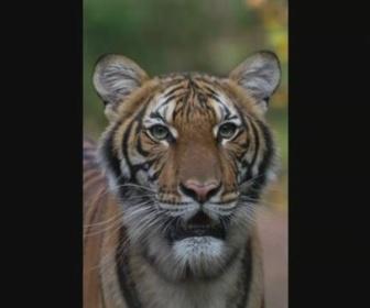 【新型ウイルス】NY市の動物園でトラが感染 せきや食欲不振 動物園が発表