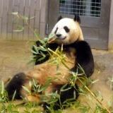 上野動物園のパンダと桜