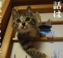垂れ耳猫のスコフォがこの世から消える!? 動物愛護団体から残酷との声