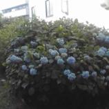 『戸田市・万葉の花の道の紫陽花が咲きました! #todacity』の画像