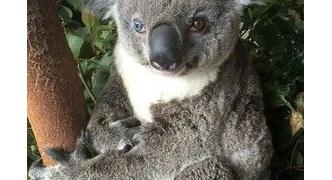 【オーストラリア】左右の瞳の色が異なるコアラ、「ボウイ」と命名[7/12]