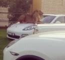 チーターやトラのペット、法律で禁止に・・・中東UAE
