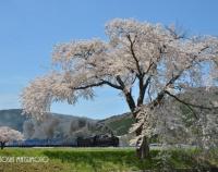 『桜ふたたび(釜石線にて)』の画像