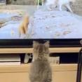 子ネッコ、テレビの猫ジャンプにつられてジャンプするwwwwwwwww