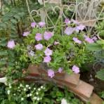 のばらのガーデニングブログ Hana and Rose Garden+