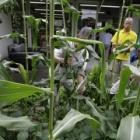 『本日はトウモロコシの収穫です!』の画像