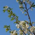 梅雨到来桜花爛漫