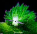 【画像】蛍光ウミウシが撮影される