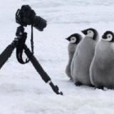 【画像】ペンギンさん、カメラマンに寄ってきてしまうwwwwwwww