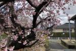 1週間で2分咲きからほぼ満開に!武道館前の相撲練習場横の緋寒桜が交野市最速で桜満開!?