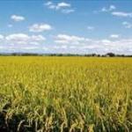 日本政府、アフリカで米作りを普及させて食糧問題解決へ
