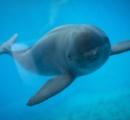「水中の妖精」長江スナメリ 生きた化石 中国