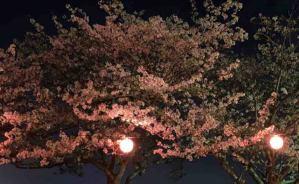 光に照らされた桜と夜景が