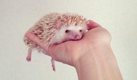 【動物】   うおおおおお これはカワイイ!!  東京在住 ハリネズミさん(雌)の写真一覧。   海外の反応